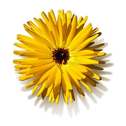 Dandelion-clip